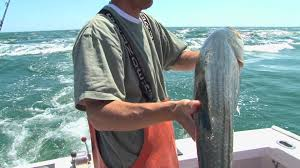 fishing huge striped bass on cape cod all on the surface baits