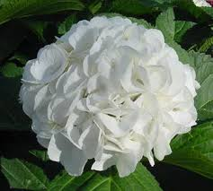 white hydrangeas hydrangea snow white qty 30 4 75 new york flower