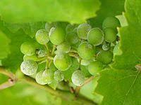 Plant Diseases Wikipedia - powdery mildew wikipedia
