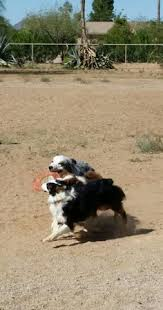 australian shepherd frisbee carman aussies avery red tri australian shepherd carman aussies