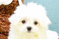 puppies for sale maltese puppies for sale purebred maltese puppies