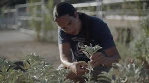 which food plant was native to the old world cultural burning kcet