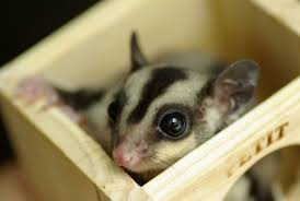 is a sugar glider the right pet for you u2013 animal clinic of morris