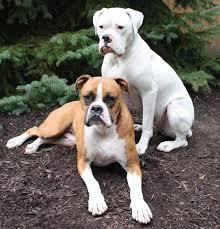boxer dog breeders near me medium dog breeds list of medium medium large small medium dogs