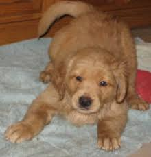 american pitbull terrier for sale in dallas texas golden retrievers for sale ads free classifieds