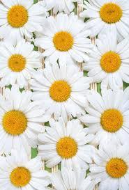 best 20 daisy wallpaper ideas on pinterest screensaver flower