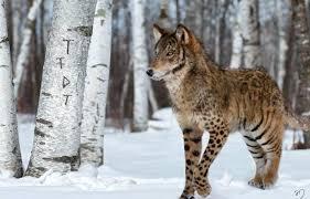 imagenes sorprendentes de lobos animales híbridos un cruce sorprendente e irreal el siglo