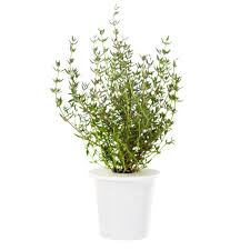 click and grow thyme refill for smart herb garden 3 pack
