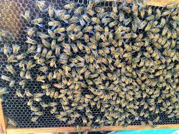 honey bee hive inspection eyesonhives
