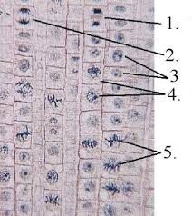 mitosis assignment answer key