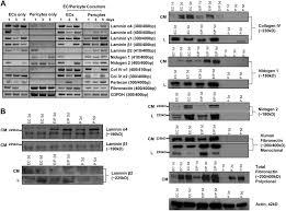 pericyte recruitment during vasculogenic tube assembly stimulates