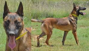 belgian sheepdog craigslist personal protection dogs for sale belgian malinois protection