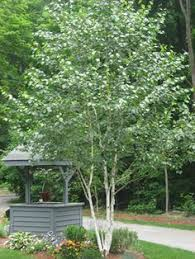this variety of clump birch tree is for its white chalk