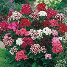 sweet william flowers sweet william single mixed seeds from mr fothergill s seeds and plants