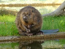 all sizes 8030 europeisk bäver eurasian beaver castor fiber
