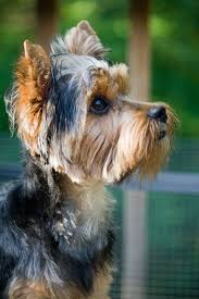 stunning yorkie hair cuts 50 damn cute yorkie haircuts for your puppy hairstylec