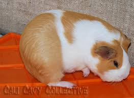 cali cavy collective a blog about all things guinea pig it u0027s