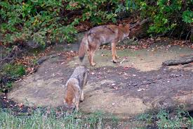 Can Coyotes See Red Light Eastern Coyote Kim Smith Designs