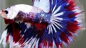 betta fish tail types youtube