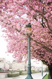paris photography april in paris cherry blossoms at notre