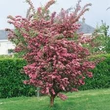 how to grow ornamental trees marshalls seeds
