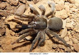 hairy spider stock photos u0026 hairy spider stock images alamy
