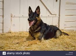 dog barn german shepherd dog lying in straw by barn stock photo royalty