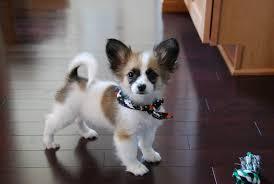 american eskimo dog jack russell mix sapfarr dailypuppy com