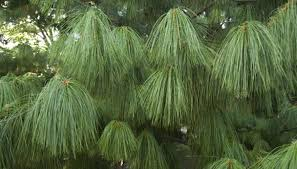 how to care for cypress evergreen trees in your home garden guides