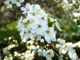 trees with white flowers white fruit flourishing flowers trees plants wallpapers