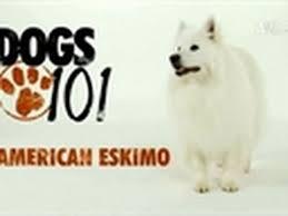 american eskimo dog poodle mix dogs 101 american eskimo youtube