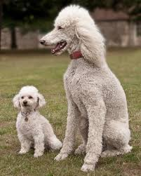 does a bedlington terrier shed dogs that don u0027t shed large u0026 small breeds list