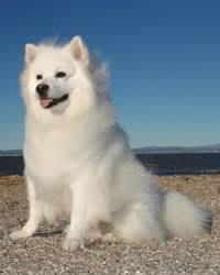 american eskimo dog rescue colorado american eskimo dog history temperament care training u0026 more