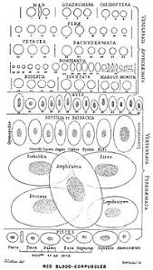 Structural Features Of White Blood Cells Red Blood Cell Wikipedia