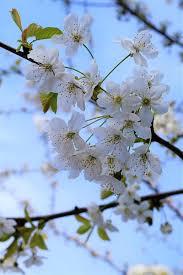 white cherry blossom cherry blossom tree white free photo on pixabay