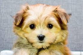 belgian shepherd kijiji puppies google search
