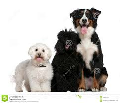 poodle x bichon frise bichon frise poodle and bernese mountain dog royalty free stock