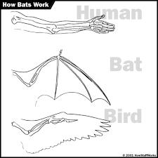 bat wings howstuffworks