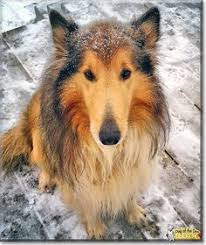 bearded collie montreal read daisy u0027s story the great pyrenees st bernard from montreal
