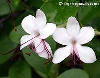 Fragrant Tropical Plants - clerodendrum inerme wild jasmine seaside clerodendrum click to