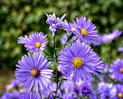 aster how to plant grow and care for aster flowers the old