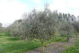 frantoio calasa gulch olive tree farm
