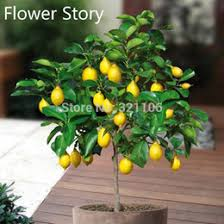 indoor bonsai trees indoor flowering bonsai trees for sale
