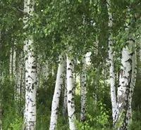 white birch trees are great because you can plant them in small