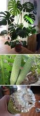 plants native to mexico 27 best for the love of aroids images on pinterest tropical