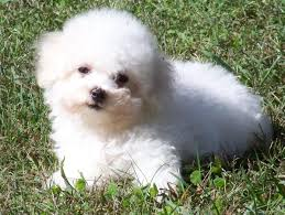 bichon frise virginia akc bichon frise puppies akc in hoobly classifieds