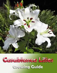 casablanca lilies corner casablanca lilies growing guide corner