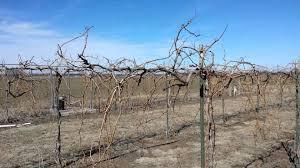 pruning chambourcin grape vines youtube