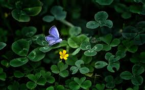 blue butterfly wallpapers macro green clover hd wallpapers for