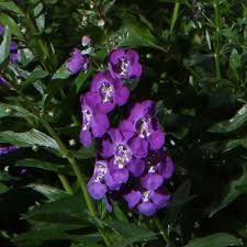 snapdragon flowers proven winners angelface blue summer snapdragon angelonia live